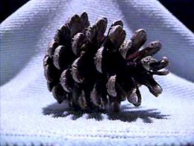 Eksperyment z mokrą szyszką. Wet pine-cone experiment